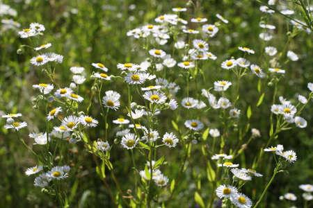 meadow  grass: pradera, hierba, flores