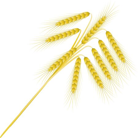 bouquet of nine ripe spikelets of cereals against the white background photo