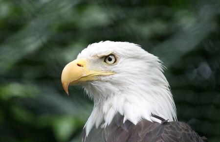 Portrait of a bald eagle on a background of green Hanover Zoo
