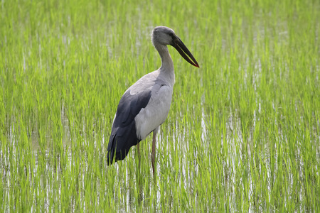 A stork is standing on a rice field. Stork photographed close-ap. In the background is a rice field. Can be used as background.