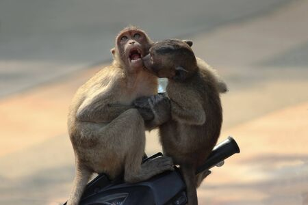 Young monkeys sit on a moped and kiss. In the background is the beach