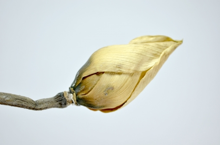 Dried lotus on white  photo