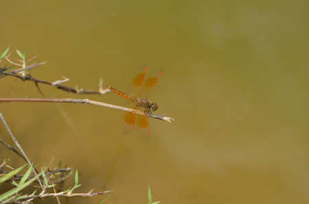 Red Dragonfly in the marsh  photo