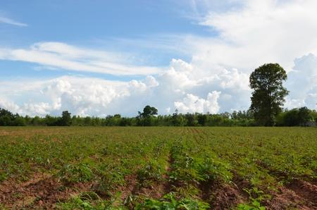 acres: Acres planted to cassava  Stock Photo