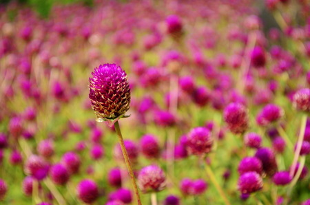 Flowers purple amaranth photo