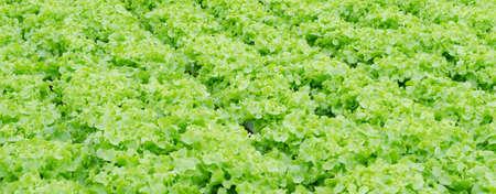 Lettuce farm in Thailand