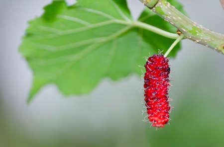 Malberry fruit