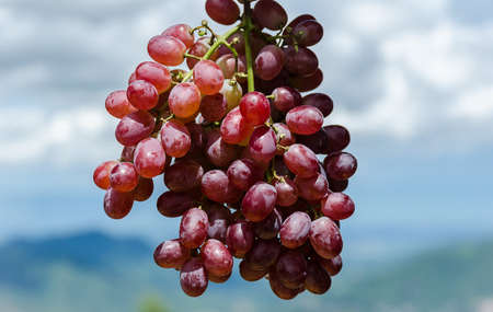 Close-up of bunches of ripe red wine grapes on vine, harves Stockfoto