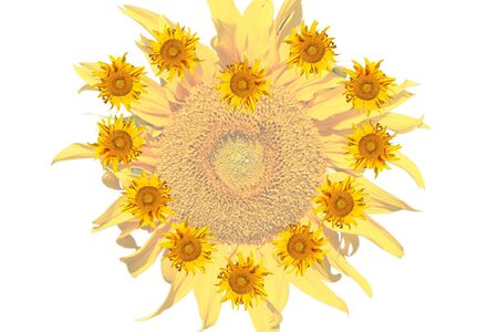 sunflowers on white background in love mood photo