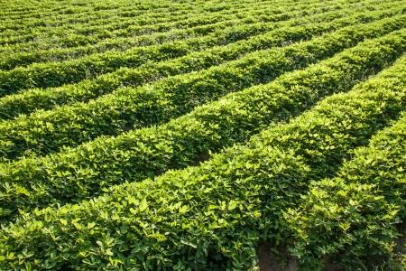 cacahuate: hileras de plantas de cacahuete