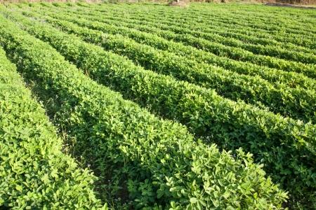 rows of peanut plants Stock Photo