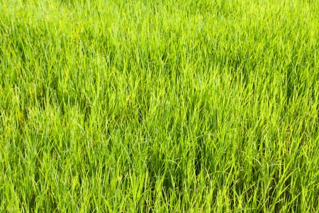 Seedlings of rice growing in paddy fields with water  photo