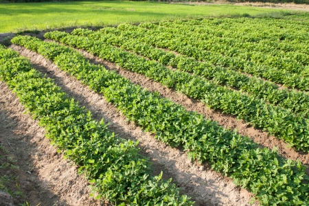 earth nut: rows of peanut plants Stock Photo