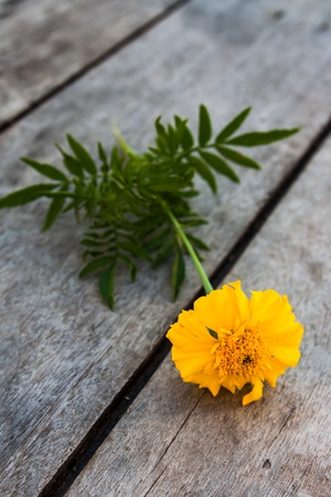 Yellow and orange marigold on wood  photo