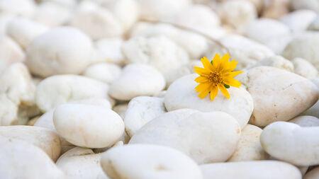wedelia on stone ground Stock Photo