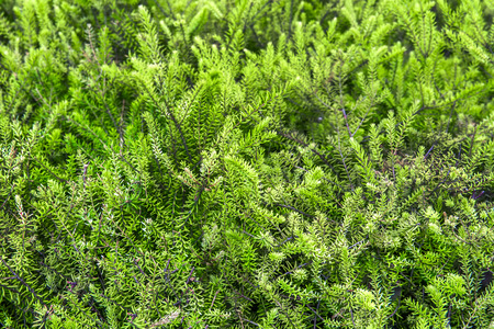creeping woodsorrel: green texture Stock Photo