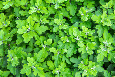 creeping oxalis: green texture Stock Photo