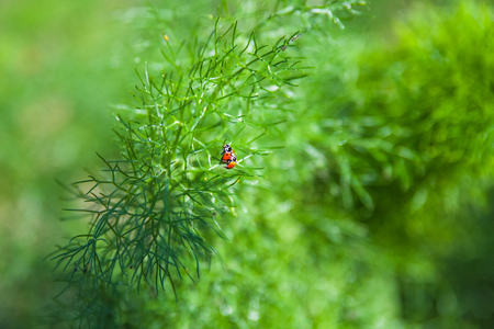 Branch of fresh green dill with two ladybugs. photo