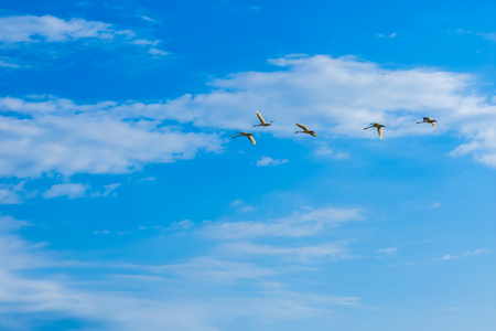tundra swan: Swans flying in a blue sky Stock Photo