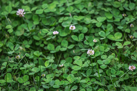 leafed: Clover field. natural background texture. fresh spring green grass