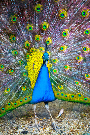 Peacock. Portrait of beautiful peacock with feathers out. Close up of peacock showing its beautiful feathers. Male peacock displaying his tail feathers. Spread tail-feathers of peacock are dating.