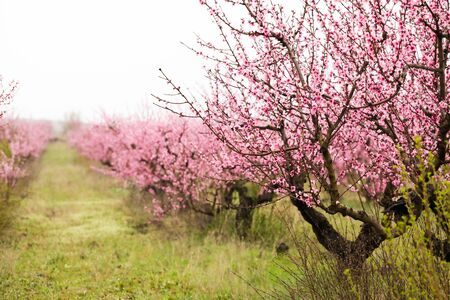 peach bloom garden view  background - Image 免版税图像