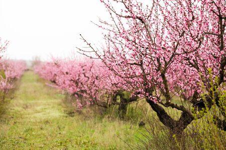 peach bloom garden view background - Image