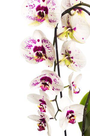 Vista cercana de orquídeas solated sobre fondo blanco - Imagen Foto de archivo