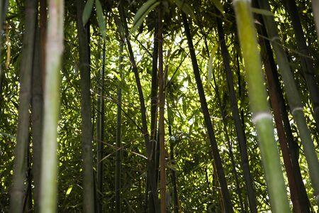 bamboo grove nature background - Image