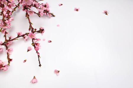 Peach blossom on pastel white background. Fruit flowers. - Image
