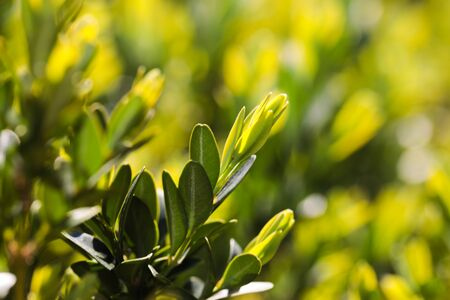 hedge buxus new spring shoots close up view - Image