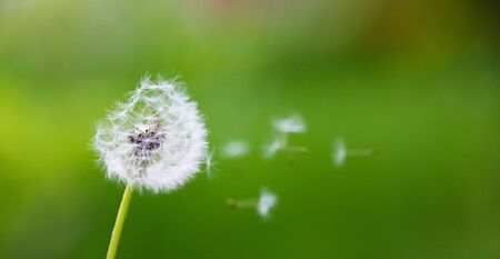 Dandelion flying on green background - Image