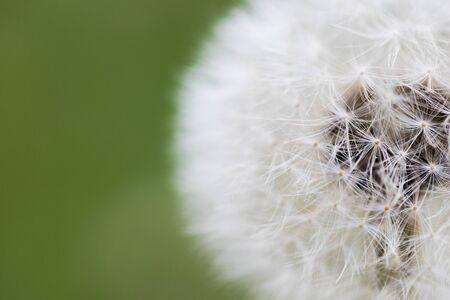 Dandelion flying on green background - Image