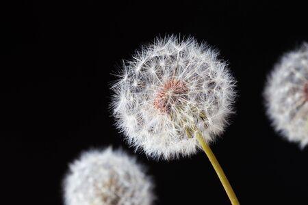 Dandelion clock, close-up, macro - Image Stockfoto