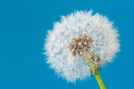 Dandelion clock, close-up, macro - Image Stock Photo