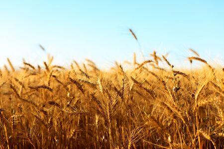 Złote kłosy pszenicy latem na polu.- Image