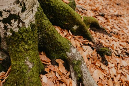 moss on the roots of a tree in the forest in autumn Stok Fotoğraf