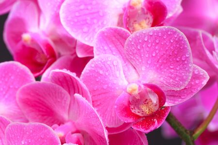 Pink orchid close up view on black background.