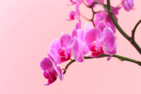 Pink orchid close up view on pastel pink  background.