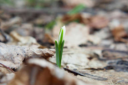 Snowdrop is the first flower that grows at the end of winter. A wonderful young flower. Reklamní fotografie