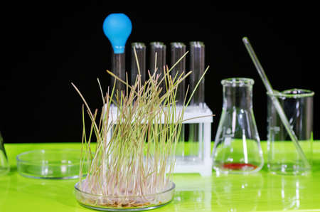 A sample of sprouted wheat grain stands on a table in a biochemical laboratory. Reklamní fotografie