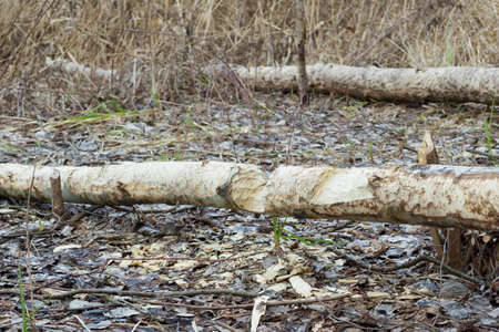 The results are the work of a beaver, cut trees and eaten bark. Beaver eats the bark in winter.