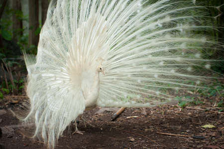 peacock wheel: White peacock with beautiful