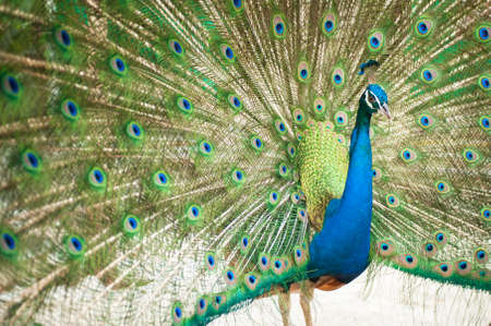 common peafowl: Close-up of Male Indian Peafowl Stock Photo