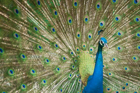 blue peafowl: Close-up of Male Indian Peafowl Stock Photo