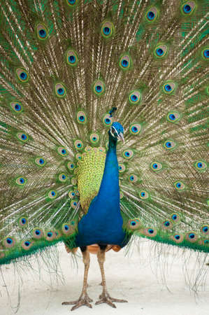 indian peafowl: Close-up of Male Indian Peafowl Stock Photo