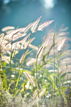 softness: Abstract softness white feather grass with retro sky blue background Stock Photo