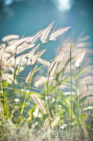 piuma bianca: Astratto morbidezza erba piuma bianca con retrò sfondo blu cielo