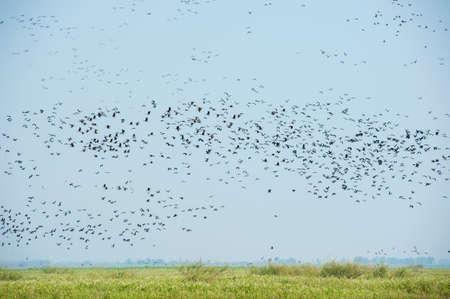lesser: lesser whistling duck Stock Photo