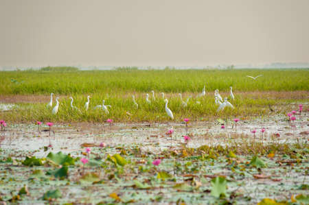 chilika: Great Egret and lotus flower
